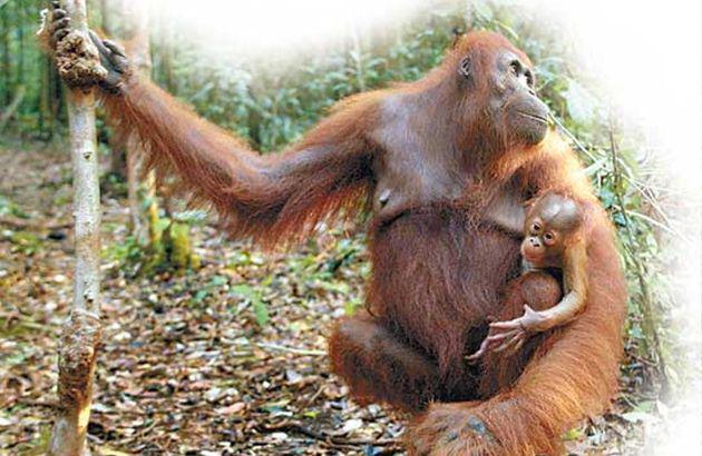 婆罗洲猩猩属受保护的濒临绝种动物