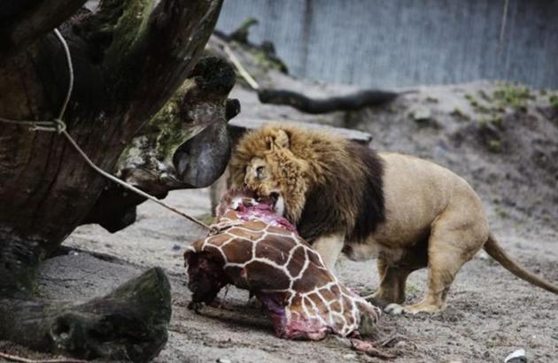 丹麦动物园 杀长颈鹿喂狮